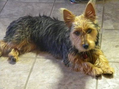 Piper the Yorkie & JACK RUSSELL TERRIER (JRT) MIX. THIS