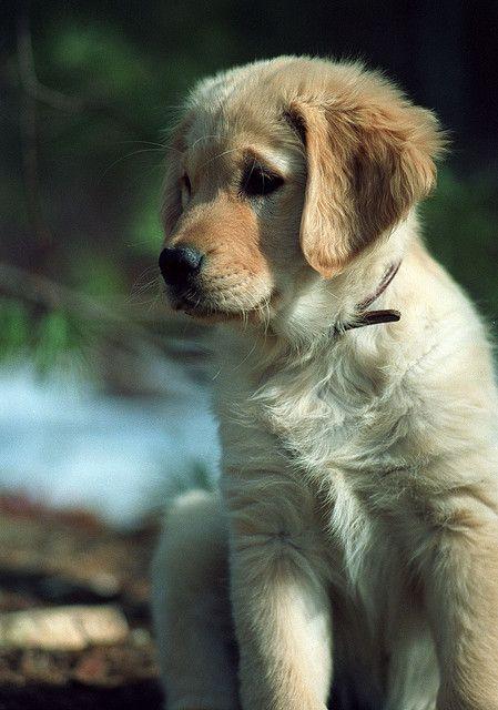 Sadie Golden Retriever Puppy Retriever Puppy Cute Puppies
