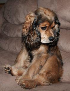 Corkie Cocker Spaniel X Yorkshire Terrier Mix Info Temperament Puppies Pictures Dogs Puppies Cocker Spaniel Puppies
