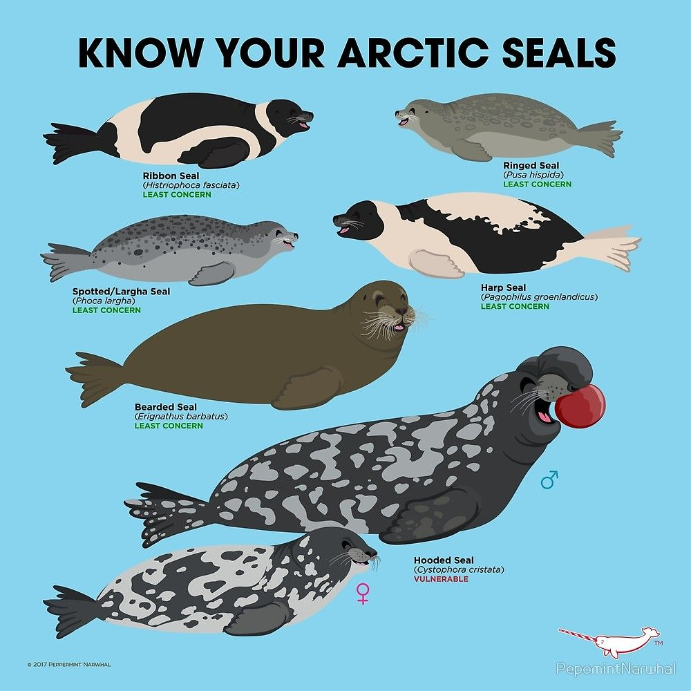 """""""Know Your Arctic Seals"""" by PepomintNarwhal Redbubble"""