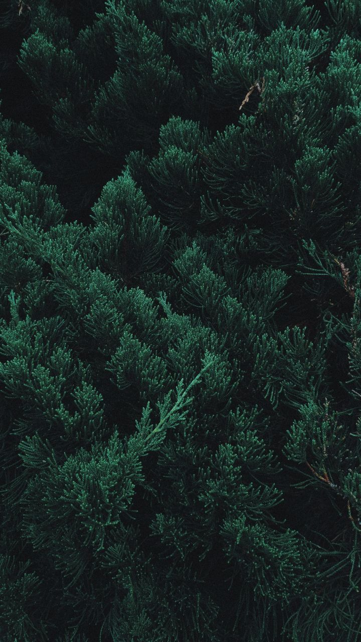 Pine, tree, leaf, branches, green, 720x1280 wallpaper