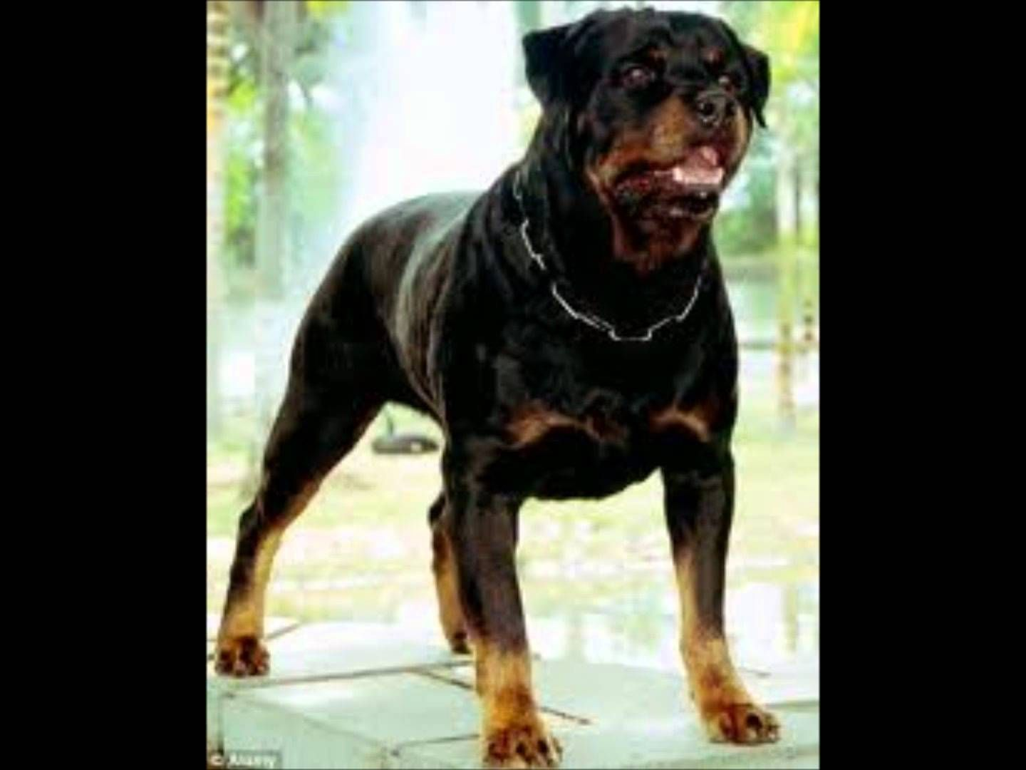 Pin Rottweiler Vs Pitbull Lilzeu Tattoo De Deto Forum On Pinterest