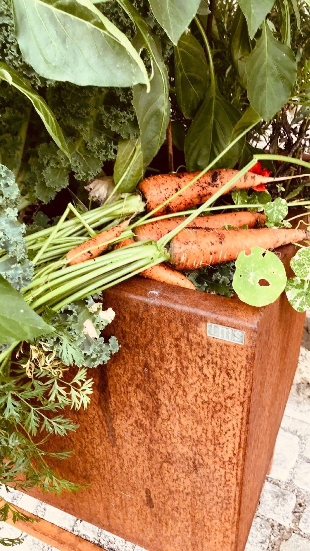 Karotte Aus Dem Isoliertem Cortenstahl Hochbeet Erntezeit Gemuse Garten Wachsen Hochbeet Pflanzen Haus Und Garten