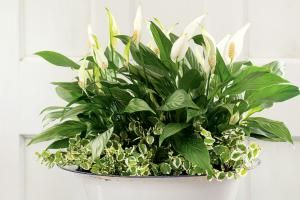 The following five low maintenance beauties will make life at home both healthier and happier.: Peace Lily Plant