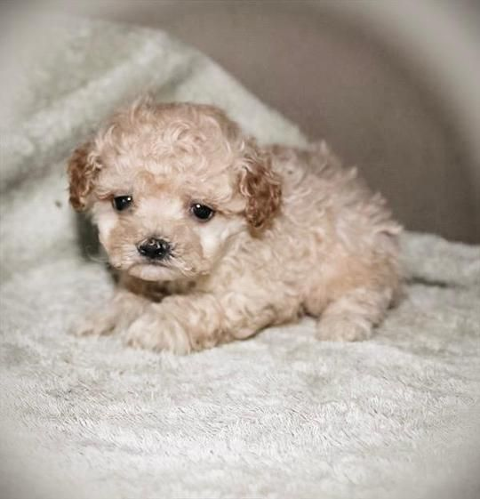 Luxury Micro and Mini Teacup Puppies For Sale. We offer a beautiful selection of the best quality and health of teacup puppies. Full guarantee and insurance rebates for our babies. White Pomeranian Puppies are our speciality! We have gorgeous, micro and teacup puppies for sale now. Mini Pomskys too! #cuteteacuppuppies