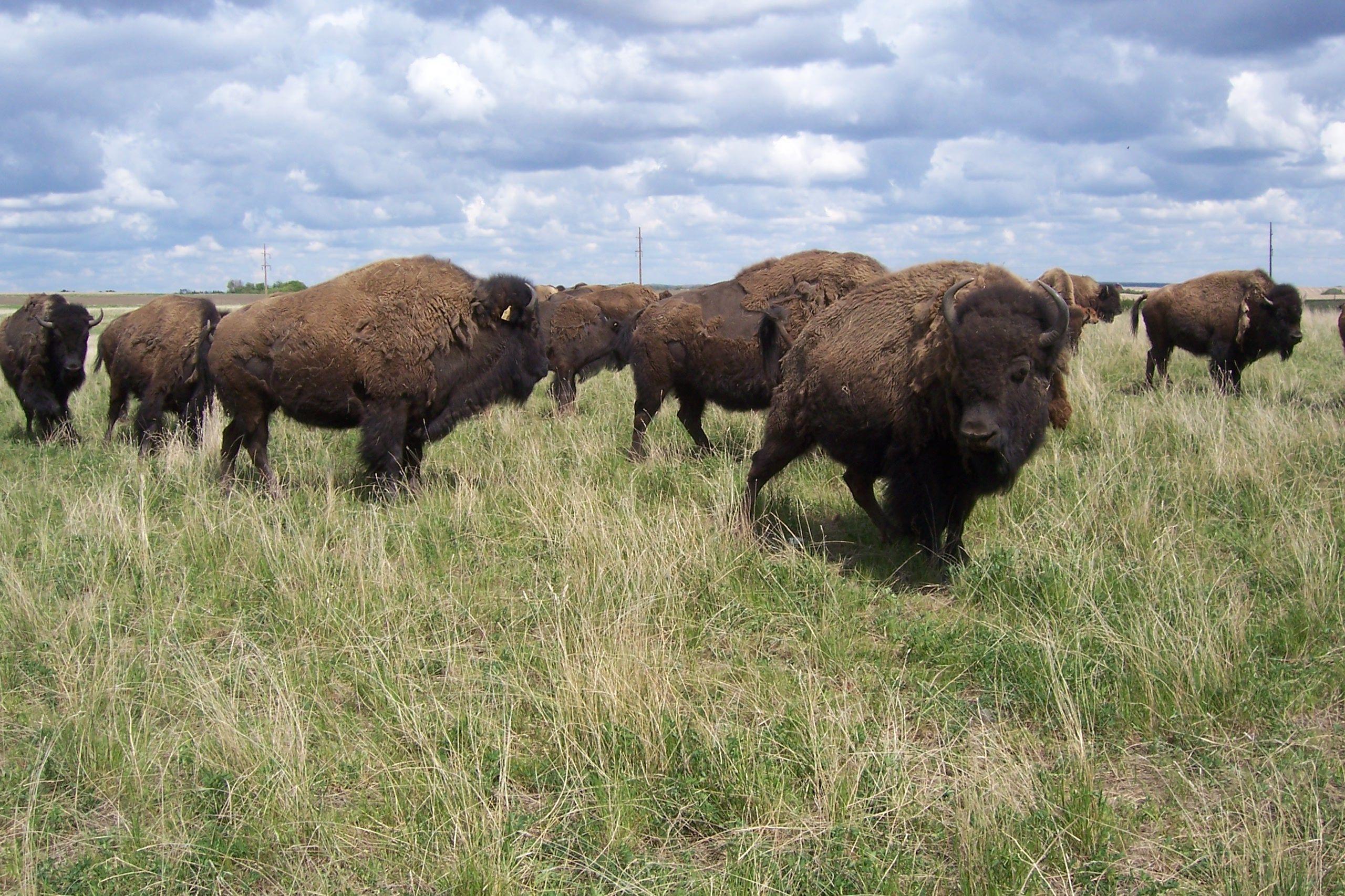 buffalo pictures Healthy Buffalo Meat for Sale Buffalo