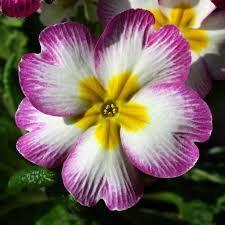 Image result for primrose flower