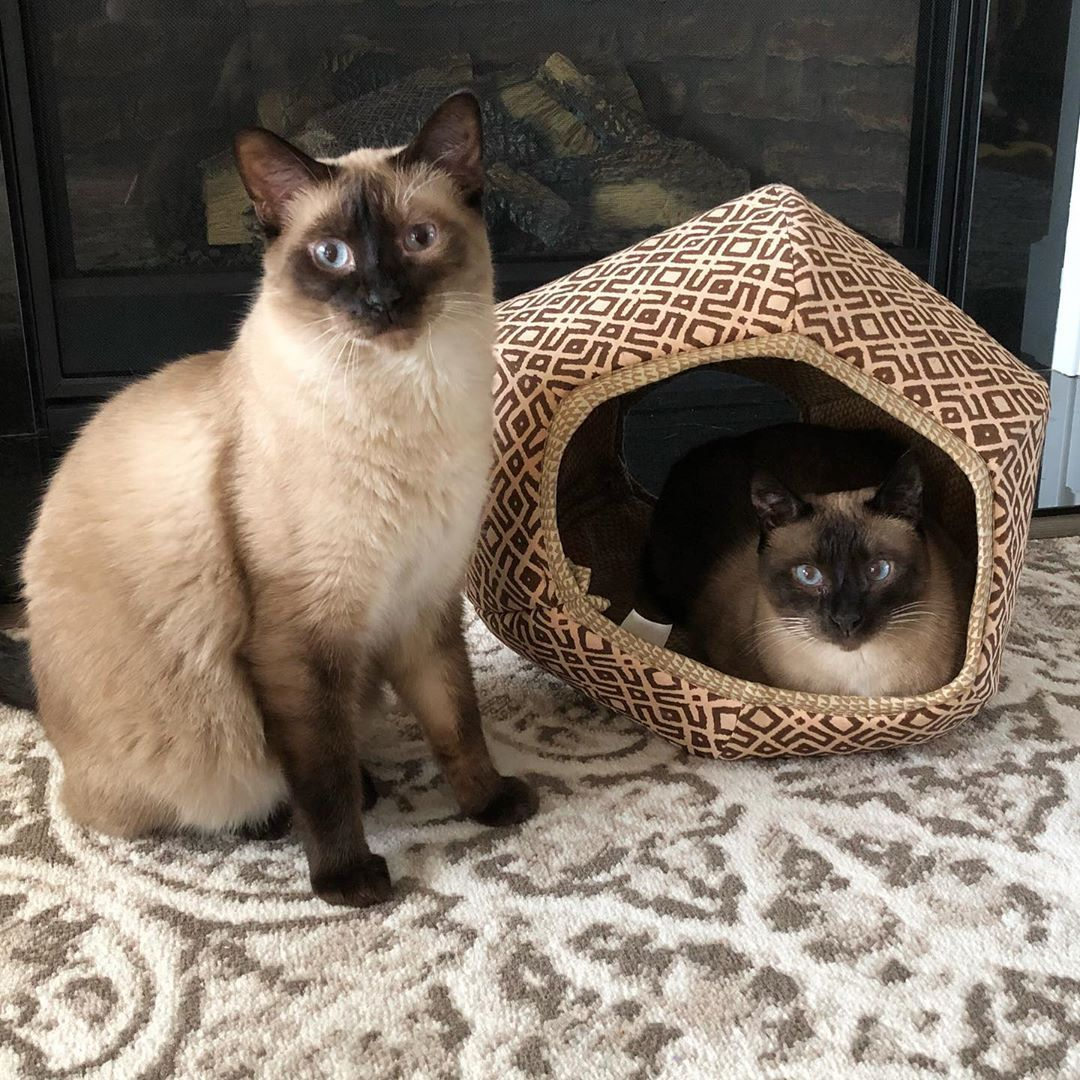 I Think We Could Be Meowdels For The Cat Ball What Do You Think Thecatball Thecatball Catball Catbed Siamesesunday Siamese Sia Siamese Kittens Cats Siamese Cats