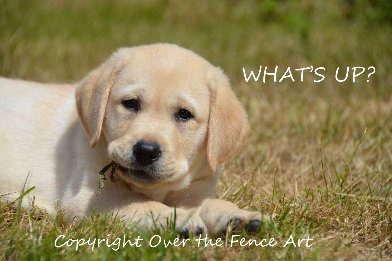 Dog Photograph Dog Card Yellow Labrador Portrait Dog