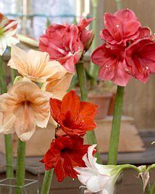 Amaryllis - Martha Stewart Home & Garden
