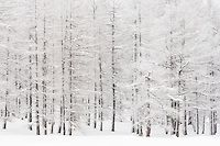 A larch tree forest on a cold winter day, with a dusting of fresh snow on the…