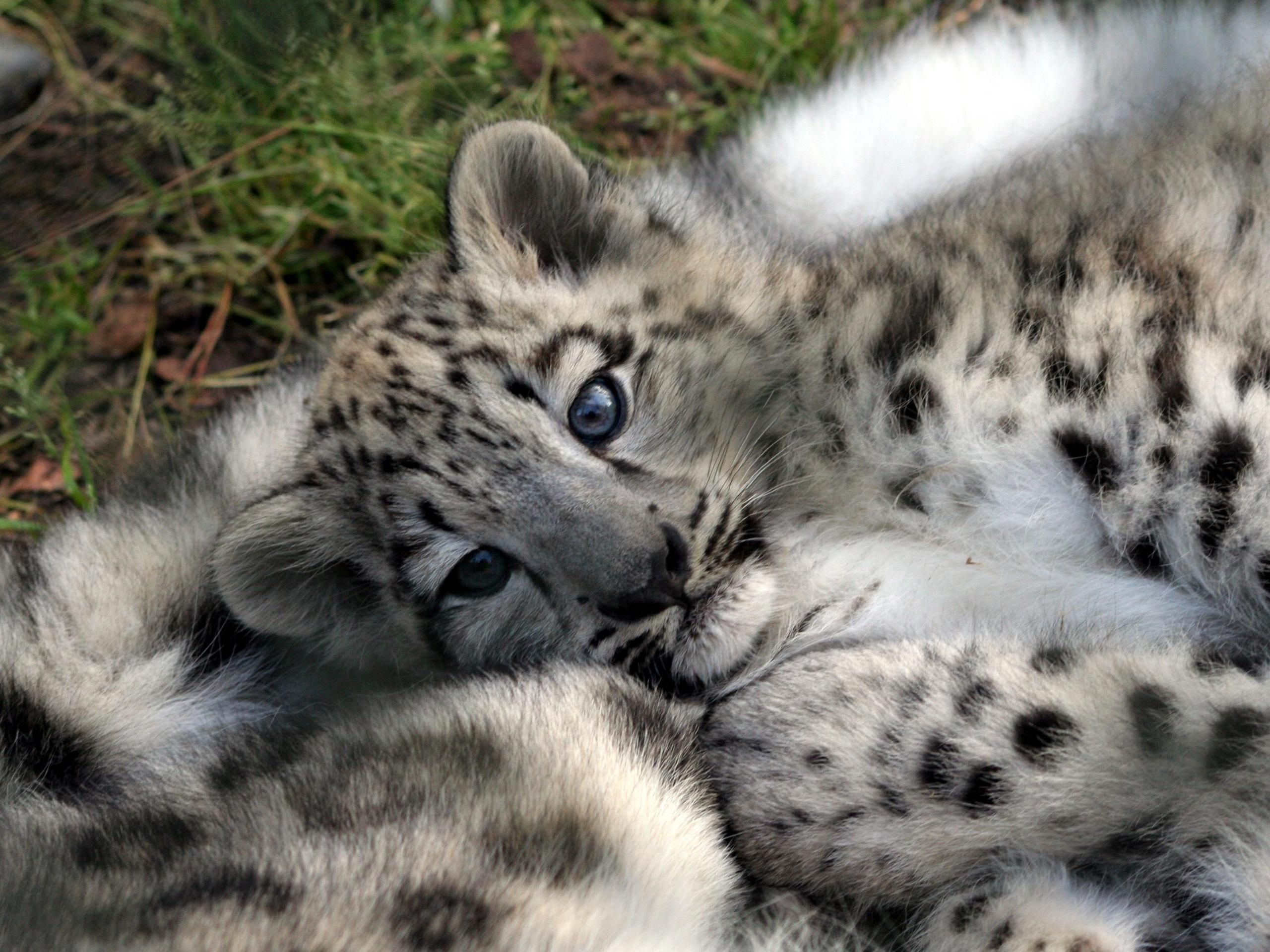Cute baby leopards cubs