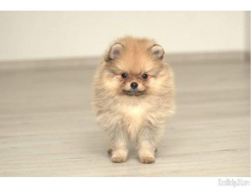 Pomeranian For Sale Near Me Pomeranian For Sale Maryland Pomeranian For Sale Virginia Pomeranian For Sale In Pomeranian Puppy For Sale Puppies Pitbull Puppies