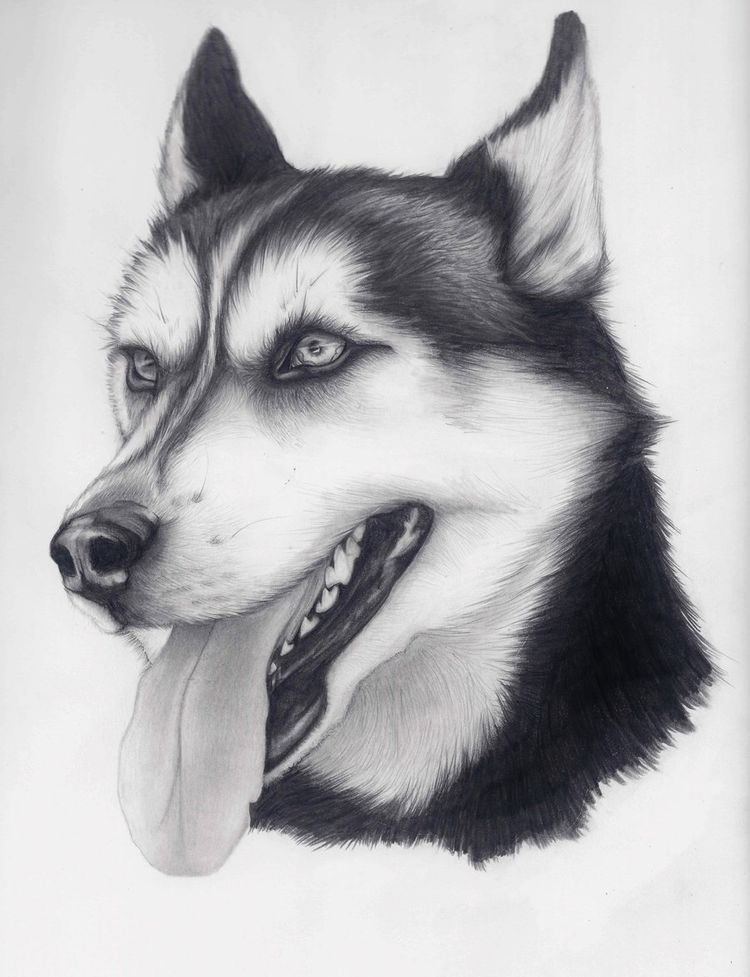Husky Drawing Image By Audrey Lipkind On Drawing Animal Drawings