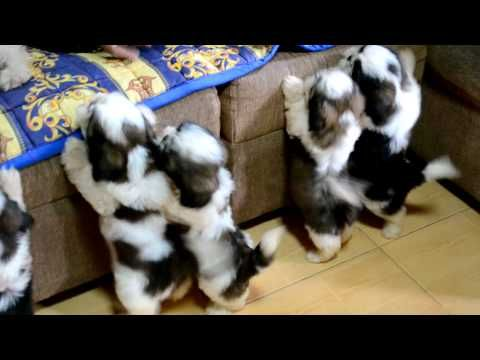 Shih Tzu Puppies After The 1st Bath Youtube Shih Tzu Puppy Puppies Shih Tzu