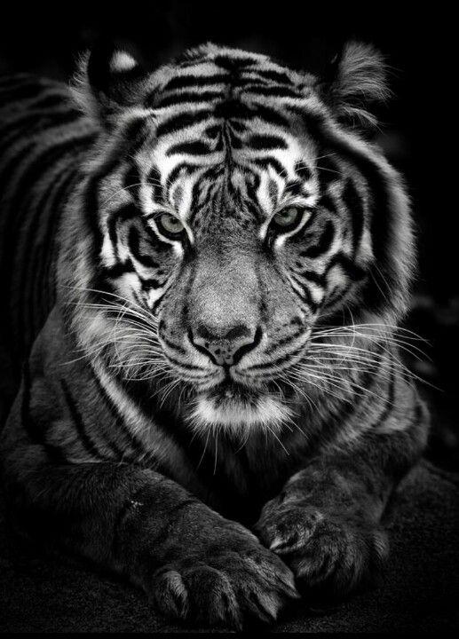 Tigre noire et blanc | Tigr | Animals, Animals beautiful y ...