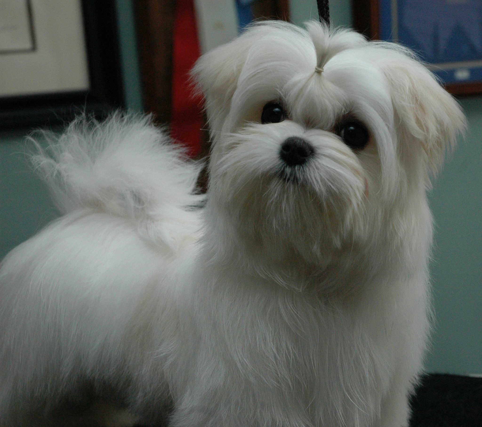 Miss Spoiled Brat Bassey With Images Maltese Yorkie Puppy