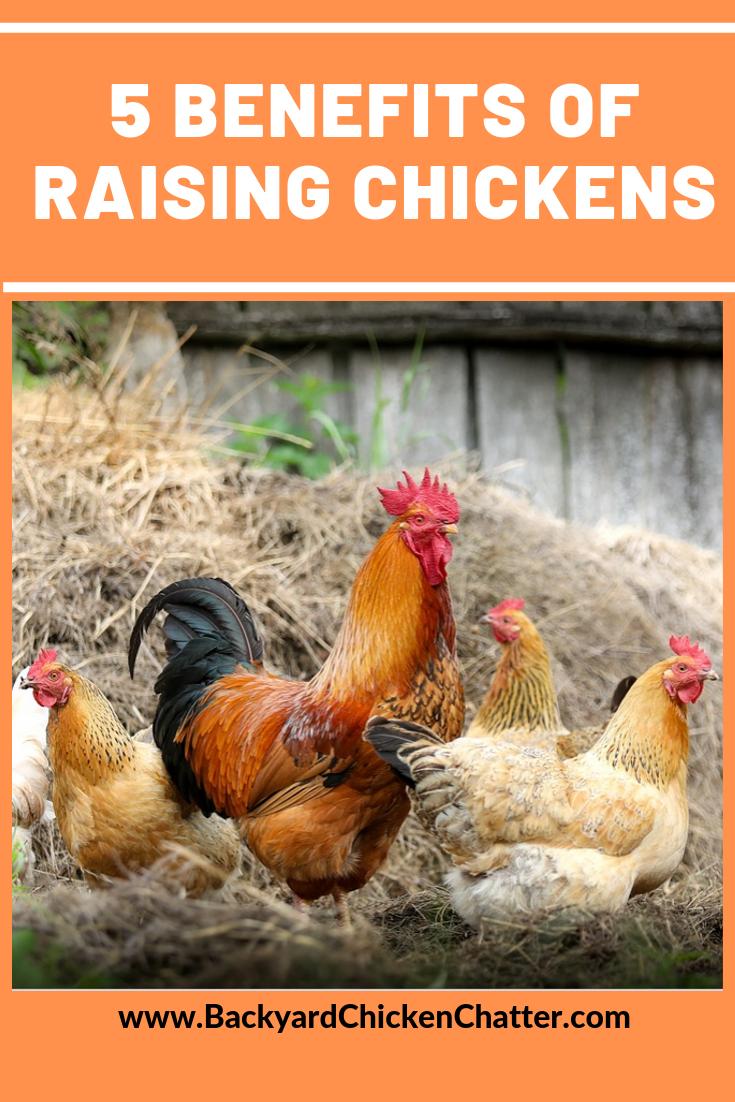Benefits of Raising Chickens! | Chicken manure, Urban ...