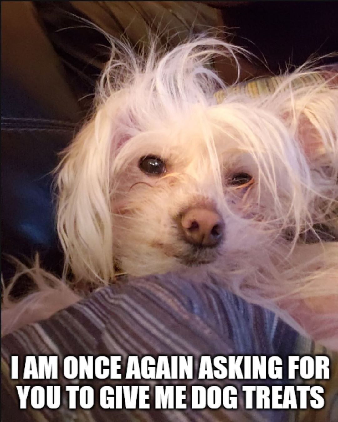 Berniesanders Eat Your Heart Out Thank You Justcallmetoto For The Best New Meme The Internet Has To Offer Chinese Crested Dog Treats Dogs