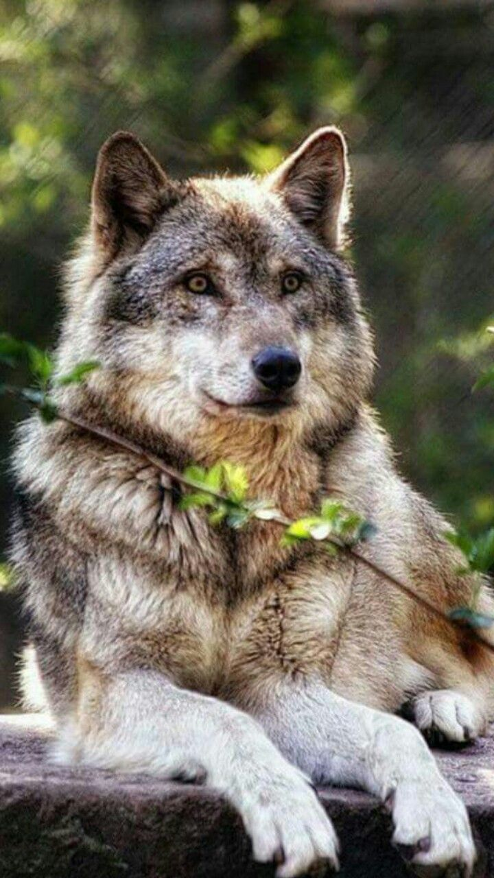 Pin By Lobo On Wolf Wolf Photos Wolf Photography Wolf Dog