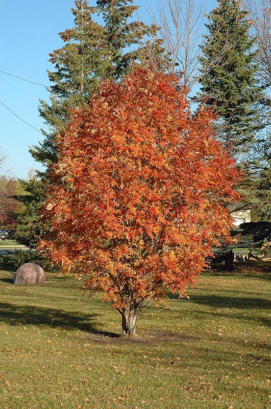 Cardinal royal mountain ash sorbus aucuparia 39 cardinal for Garden deciduous trees