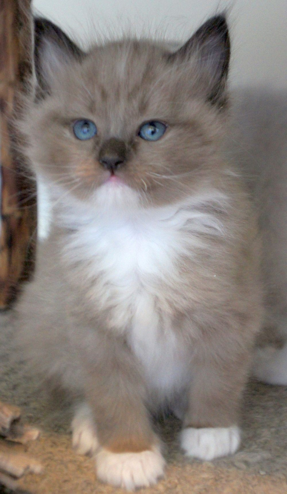 Cat Having Kittens The First Time Cats And Kittens Sale Bristol Cute Cats Ragdoll Kitten Pretty Cats