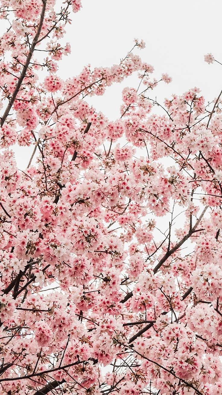 12 Pretty Springtime Iphone Wallpapers Cherry Blossom Wallpaper