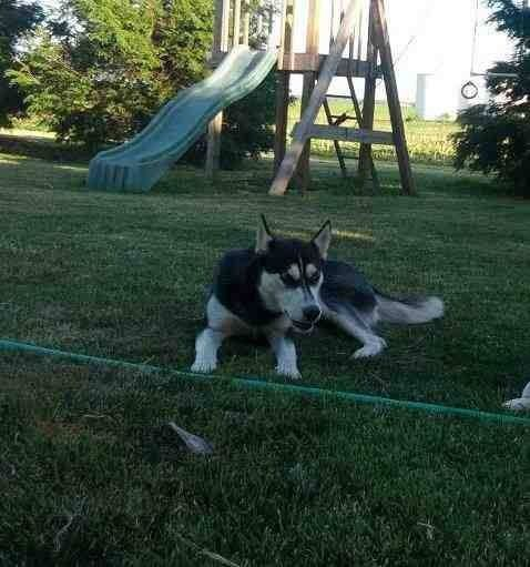 Lostdog 1 31 14 Heyworth Il Female Siberianhusky 2 Year Old 50