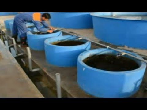 Beternak Ikan Lele