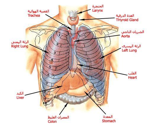 بالصور و الشرح علم وظائف أعضاء جسم الإنسان مع تشريح جسم الانسان Medical Words Human Body Anatomy Medical Art