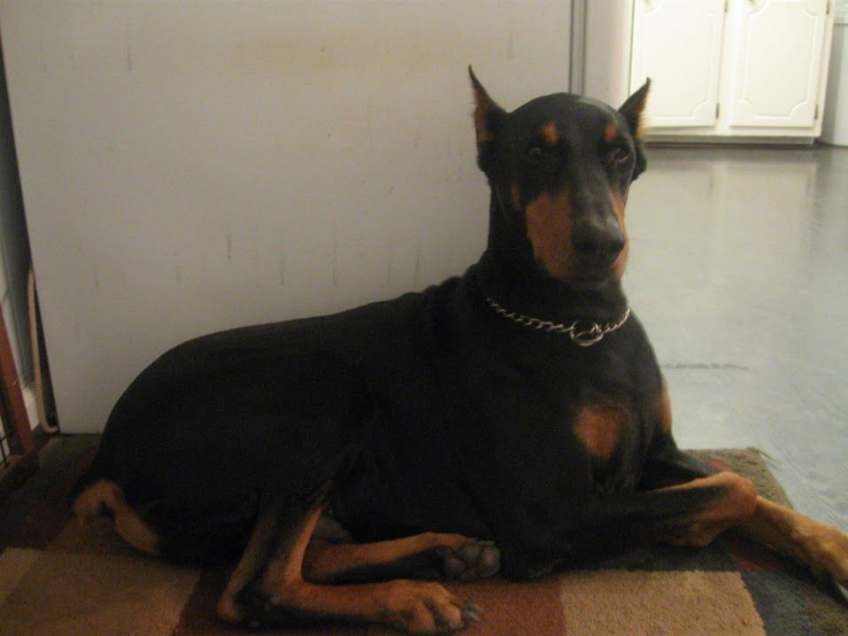My puppy! I LOVE my doberman!!