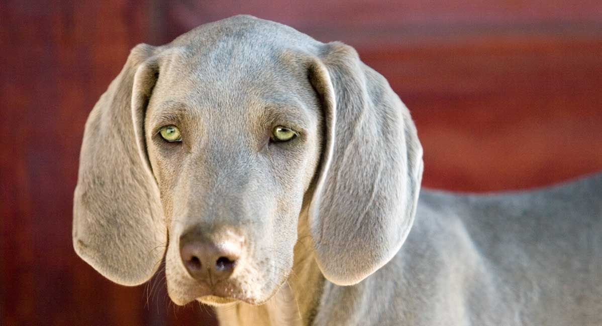 Dogs With Green Eyes Which Dog Breeds Have Green Eyes In 2020 Dog Breeds Cute Dog Pictures Albino Dog