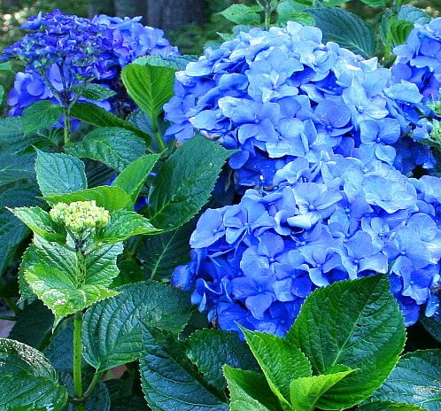 I Just Changed My Hydrangeas To Deep Blue By Putting Coffee Grounds On Them We Have These In The Living Room Our Tv Cabinet Love