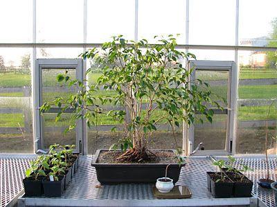 Bonsai making Ficus benjamina