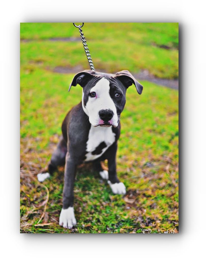 Head Over To The Website Just Click The Link For More Selections Pitbull Dog Breed Pitbull Dog Pitbull Dog Breed Dog Breeds