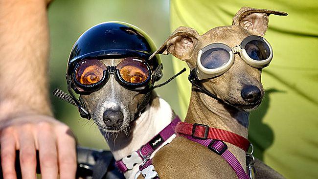 To The Park Thanks Driver Italian Greyhound Greyhound Summer Dog