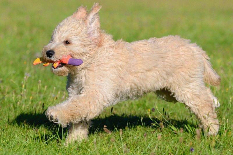 live dachshund puppy cam