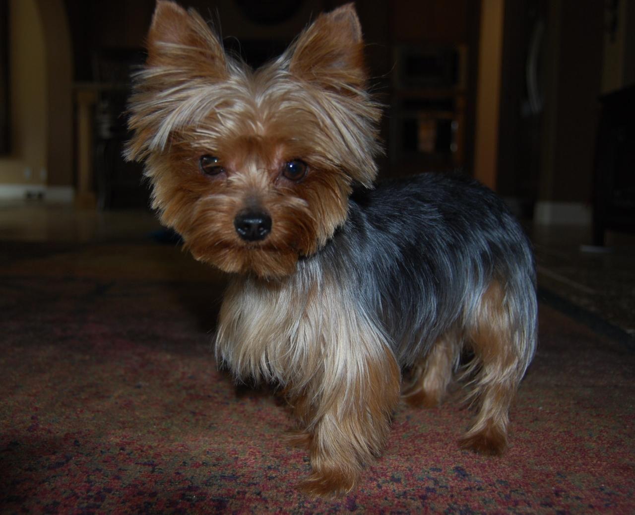 Yorkie Hairstyles: Yorkshire Terrier Hairstyles