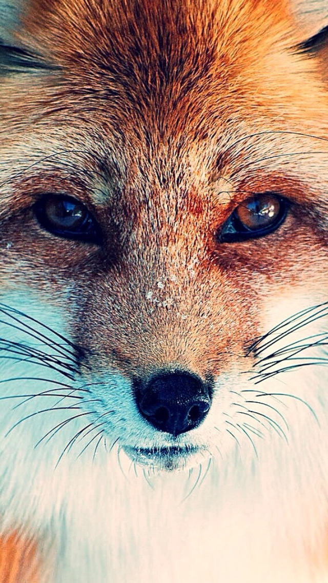 Fox iphone wallpaper google search phone wallpapers pinterest foxes wallpaper and - Wallpaper animaux ...