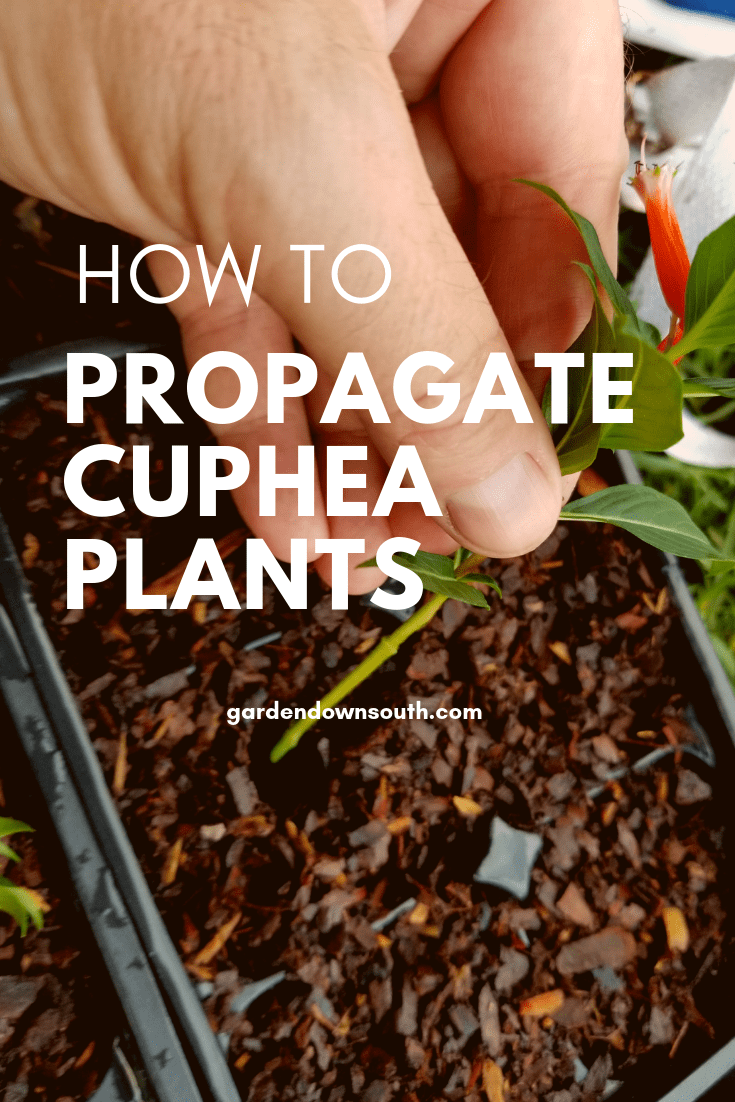 Propagating Cigar Plants Cuphea plant, Propagation, Plants