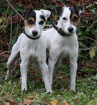 Compartimos Planeta Con Estas Dos Gotas De Agua Caninas Jack Russell Dogs Jack Russell Puppies Jack Russell
