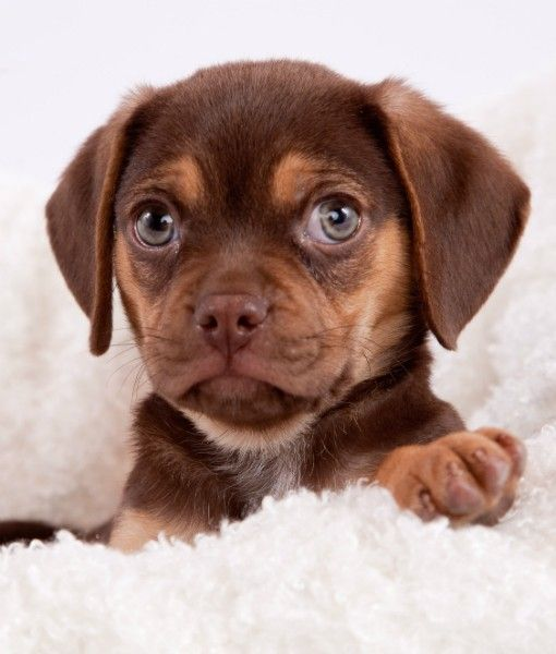Puggle - Best Dog Breeds for First-Time Owners  #dogs #pets #Pugs+Beagles=Puggles #mixes