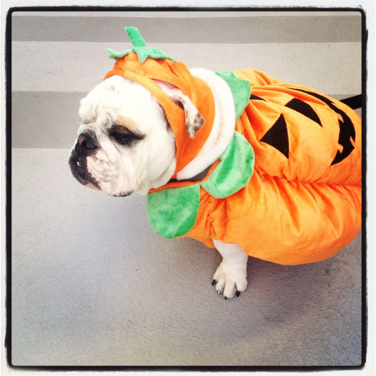 Halloween pumpkin costume. Bulldog. | English Bulldogs | Pinterest ...