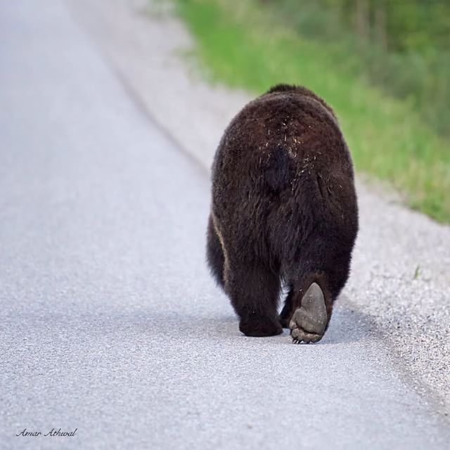 Bear butt. #mybanff  Photo thanks to Amar Athwal at @banff_moments by banff_lakelouise