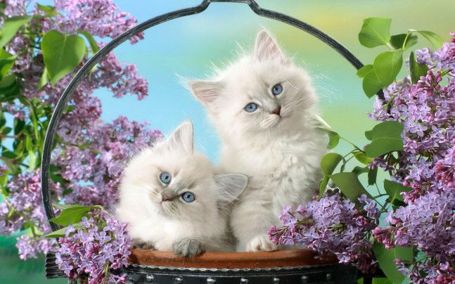Chatons Blancs Chats Felin Fleurs Violettes Mignon Pot De Fleurs Chatons Blancs Fond D Ecran Chat Fond D Ecran Mignon Chat