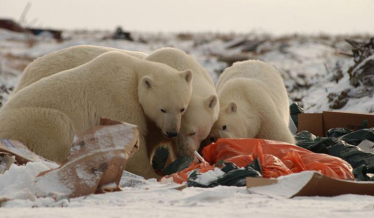 Diet Of Polar Bears Is Now 25 Plastic Worldatlas Com Bears Diet Ocean Trash Animals Plastic Polar Polar Bear Polar Bears Live Save The Polar Bears