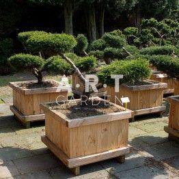 Arbres Nuage Japonais Bonsai Geant Juniperus Media Pfitz Compacta With Images Garden Outdoor Furniture Sets Outdoor Decor