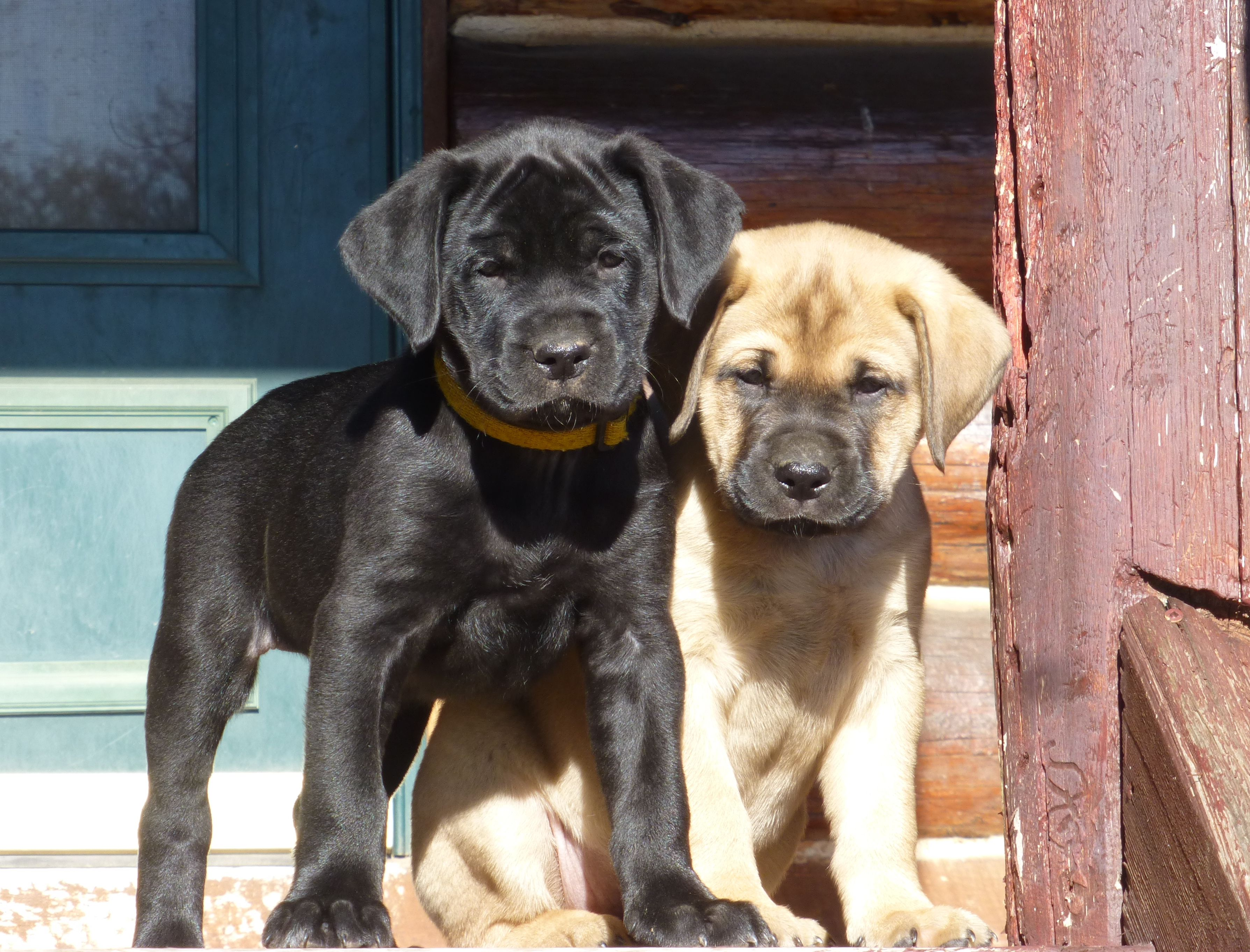 Yellow Mastador Puppies Back Gallery For Yellow Mastador Puppies Mastador Puppies Mastador Dog Puppies