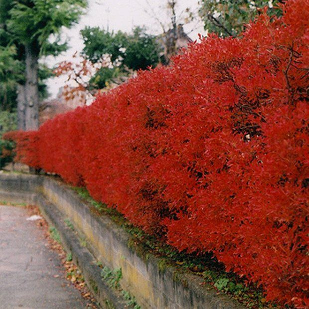 Why You Should Plant A Hedge Your Easy Garden My Yard My Get Away Pinterest Plants And