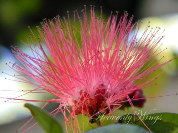Fluffy Pink Flower Dr Seuss Whoville Home Hot By Heavenlywings 25 00 Pink Flowers Pink Flowers